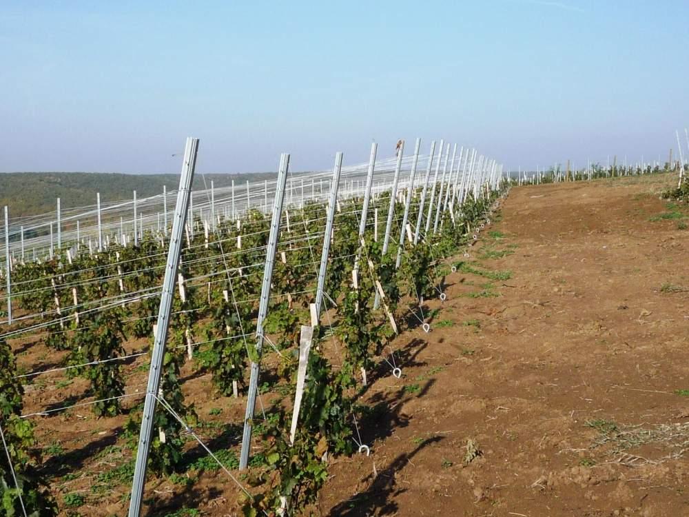 vinograd-dlya-srednej-polosy-foto-video-kak-vybrat-sort-vinograda-4