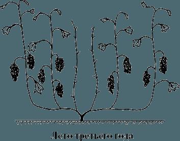 posadka-vinograda-formirovanie-kusta-foto-video-instrukcziya-22