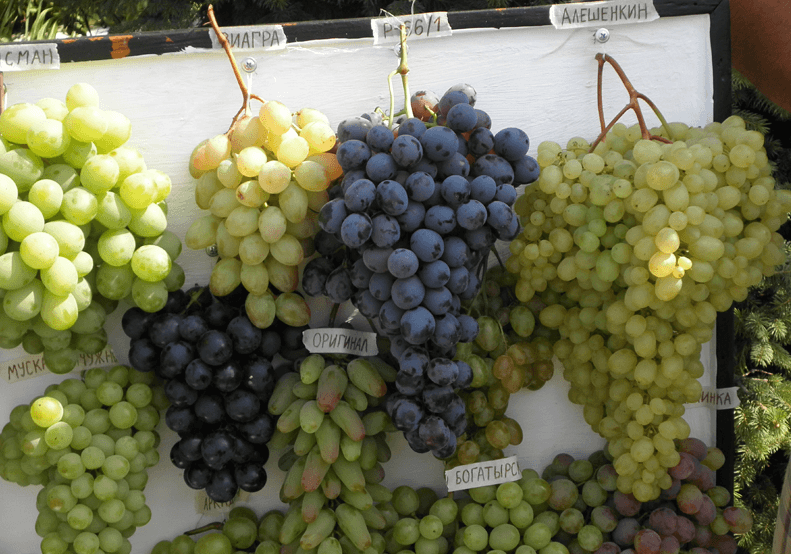 vinograd-dlya-srednej-polosy-foto-video-kak-vybrat-sort-vinograda-1