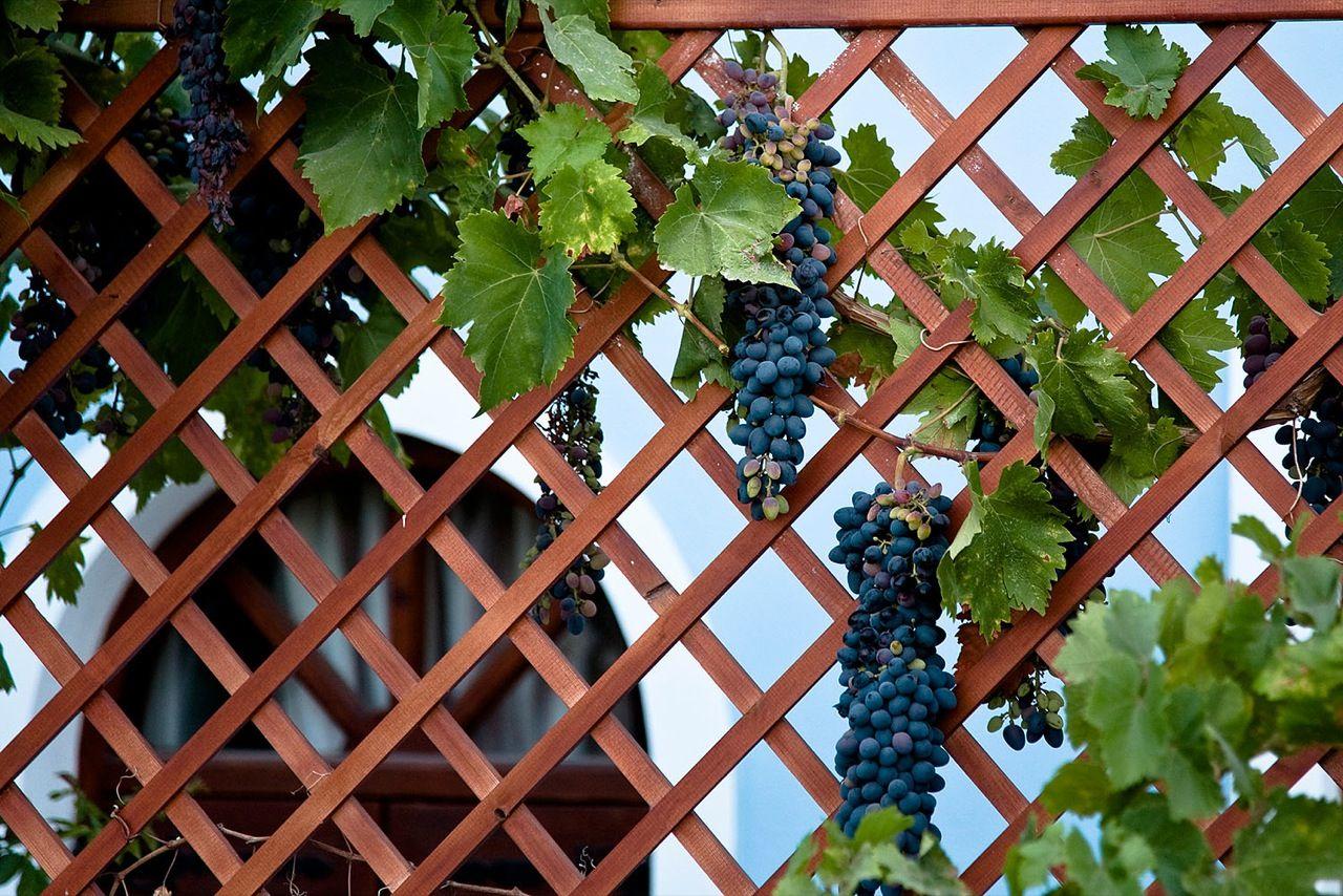 vinograd-dlya-srednej-polosy-foto-video-kak-vybrat-sort-vinograda-3