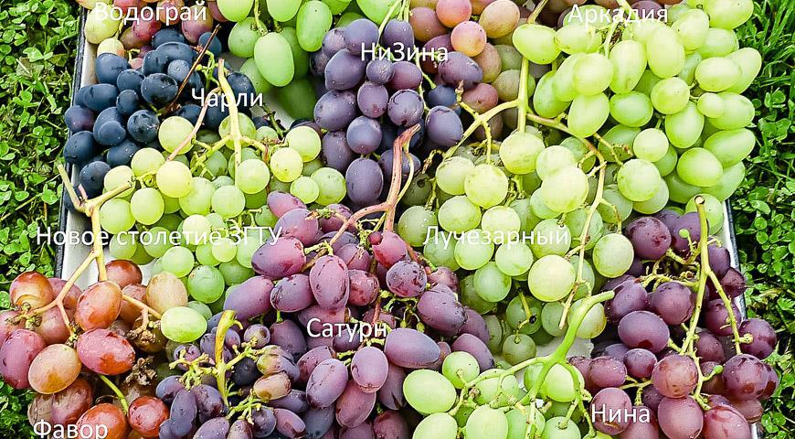 vinograd-v-teplicze-vybiraem-sorta-vinograda-dlya-tepliczy-1