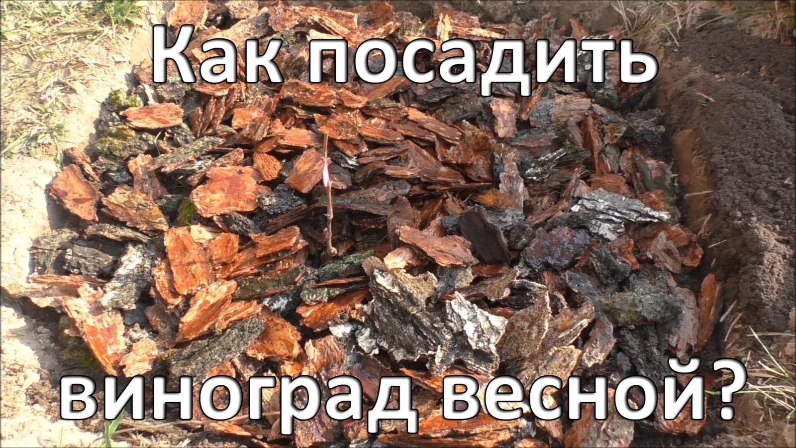 posadka-vinograda-formirovanie-kusta-foto-video-instrukcziya