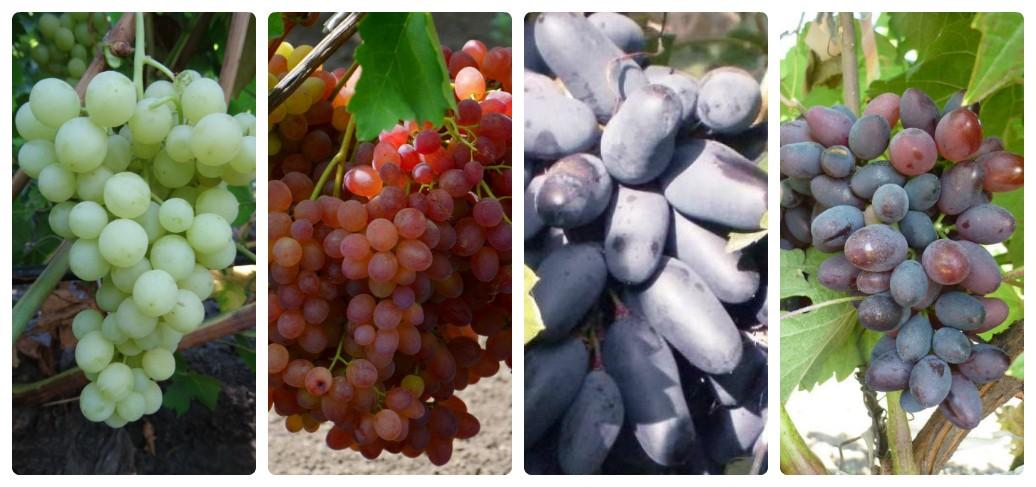 vinograd-dlya-srednej-polosy-foto-video-kak-vybrat-sort-vinograda-5