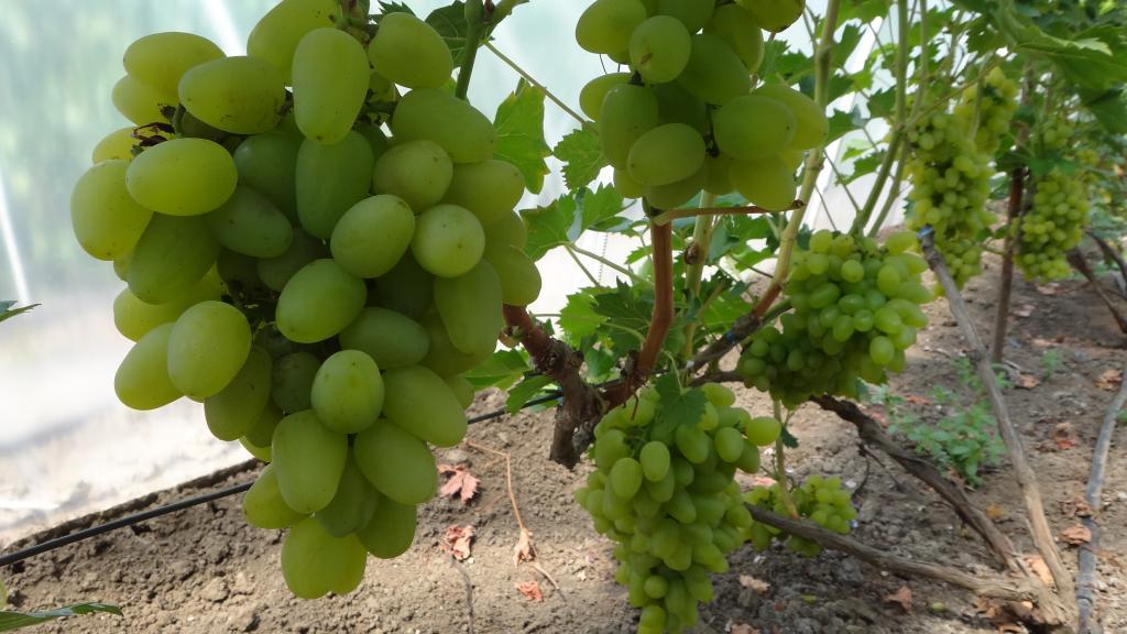 vinograd-v-teplicze-vybiraem-sorta-vinograda-dlya-tepliczy-2