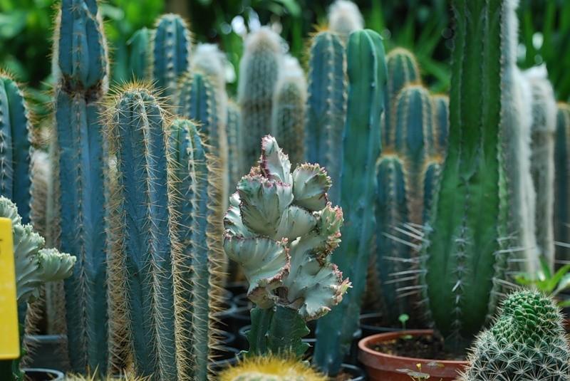 kaktusy-s-czvetnymi-igolkami-foto-opisanie-czvetnyh-kaktusov-3