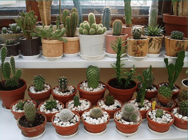 kaktusy-s-czvetnymi-igolkami-foto-opisanie-czvetnyh-kaktusov-1