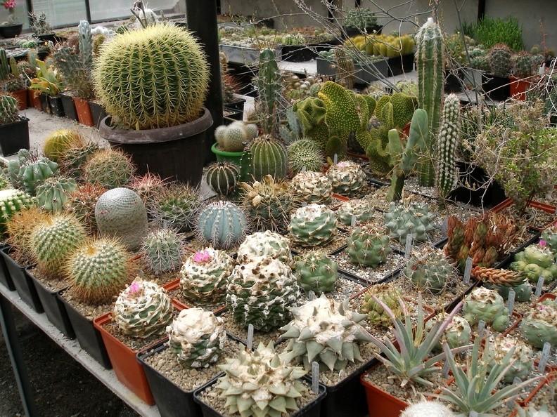 kaktusy-s-czvetnymi-igolkami-foto-opisanie-czvetnyh-kaktusov-7