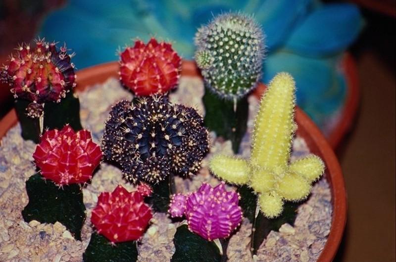 kaktusy-s-czvetnymi-igolkami-foto-opisanie-czvetnyh-kaktusov-5