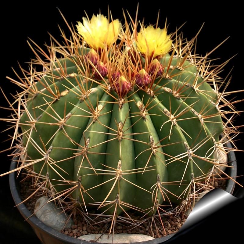 kaktusy-s-czvetnymi-igolkami-foto-opisanie-czvetnyh-kaktusov-6