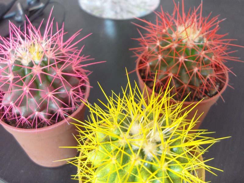 kaktusy-s-czvetnymi-igolkami-foto-opisanie-czvetnyh-kaktusov