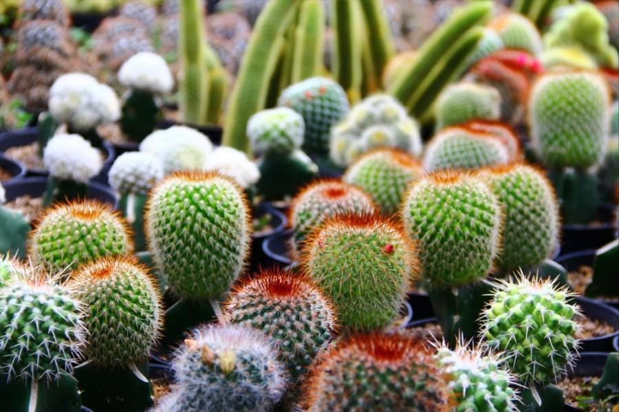 kaktusy-s-czvetnymi-igolkami-foto-opisanie-czvetnyh-kaktusov-4