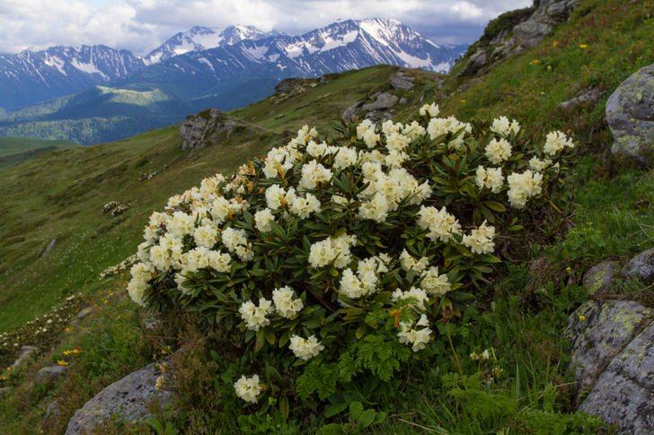 rododendron-foto-sorta-opisanie-posadka-i-uhod-899989095434234