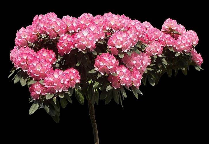 rododendron-foto-sorta-opisanie-posadka-i-uhod-8909098909