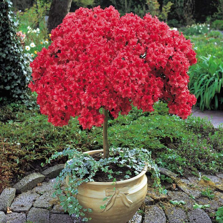 rododendron-foto-sorta-opisanie-posadka-i-uhod-89543345543