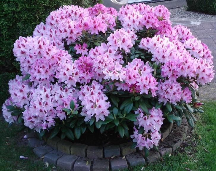 rododendron-foto-sorta-opisanie-posadka-i-uhod-89098Q54532