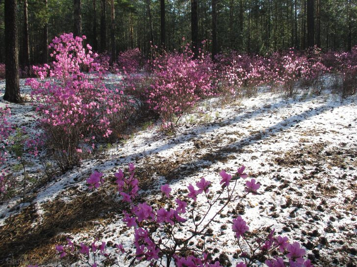 rododendron-foto-sorta-opisanie-posadka-i-uhod-9985342313243545