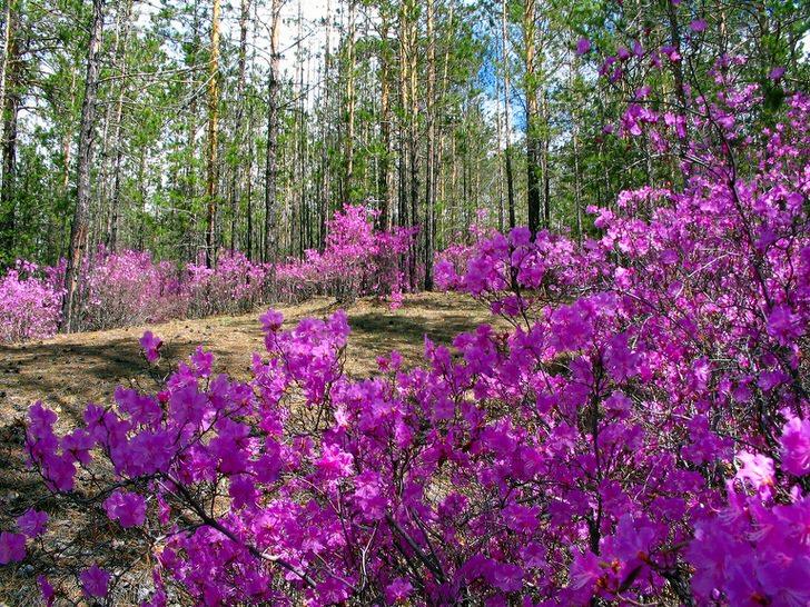 rododendron-foto-sorta-opisanie-posadka-i-uhod-5432343211111111123