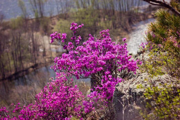 rododendron-foto-sorta-opisanie-posadka-i-uhod-89554454455453