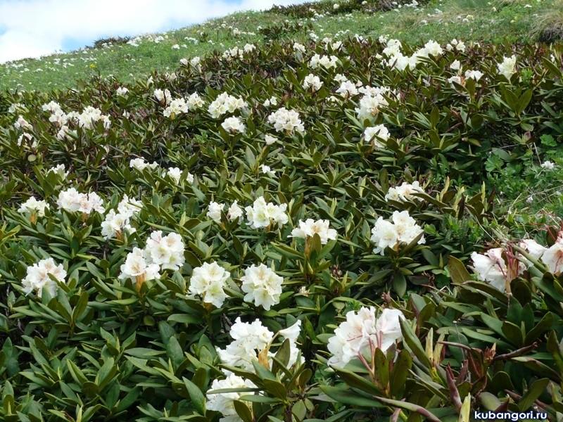 rododendron-foto-sorta-opisanie-posadka-i-uhod-4534231242534