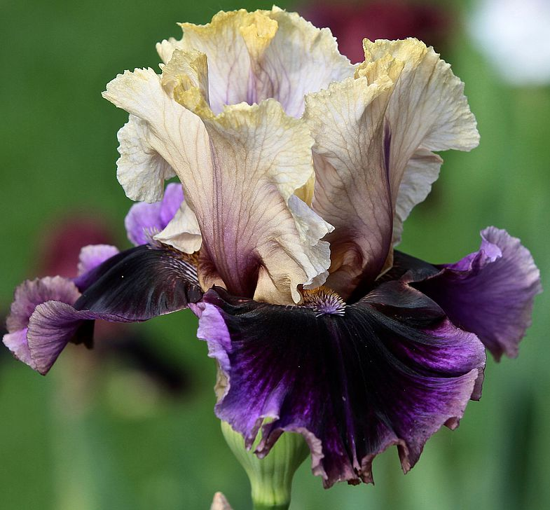 irisy-foto-posadka-irisov-uhod-v-otkrytom-grunte