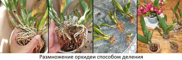 kak-uhazhivat-za-orhideej-foto-video-razmnozhenie-i-peresadka-orhidej-13