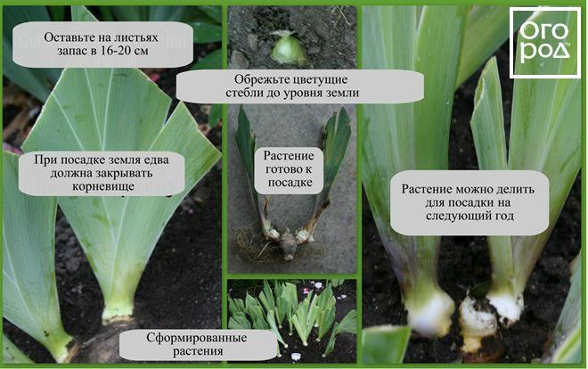 irisy-foto-posadka-irisov-uhod-v-otkrytom-grunte-5