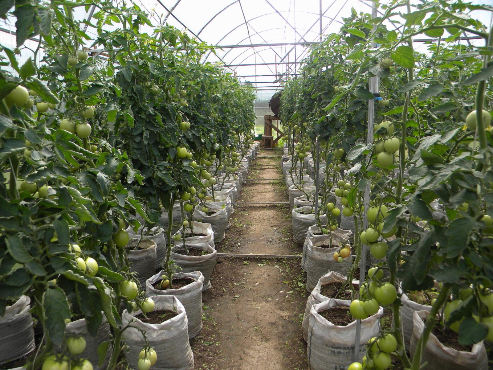 vyrashhivanie-pomidorov-v-teplicze-instrukcziya-dlya-nachinayushhih-1
