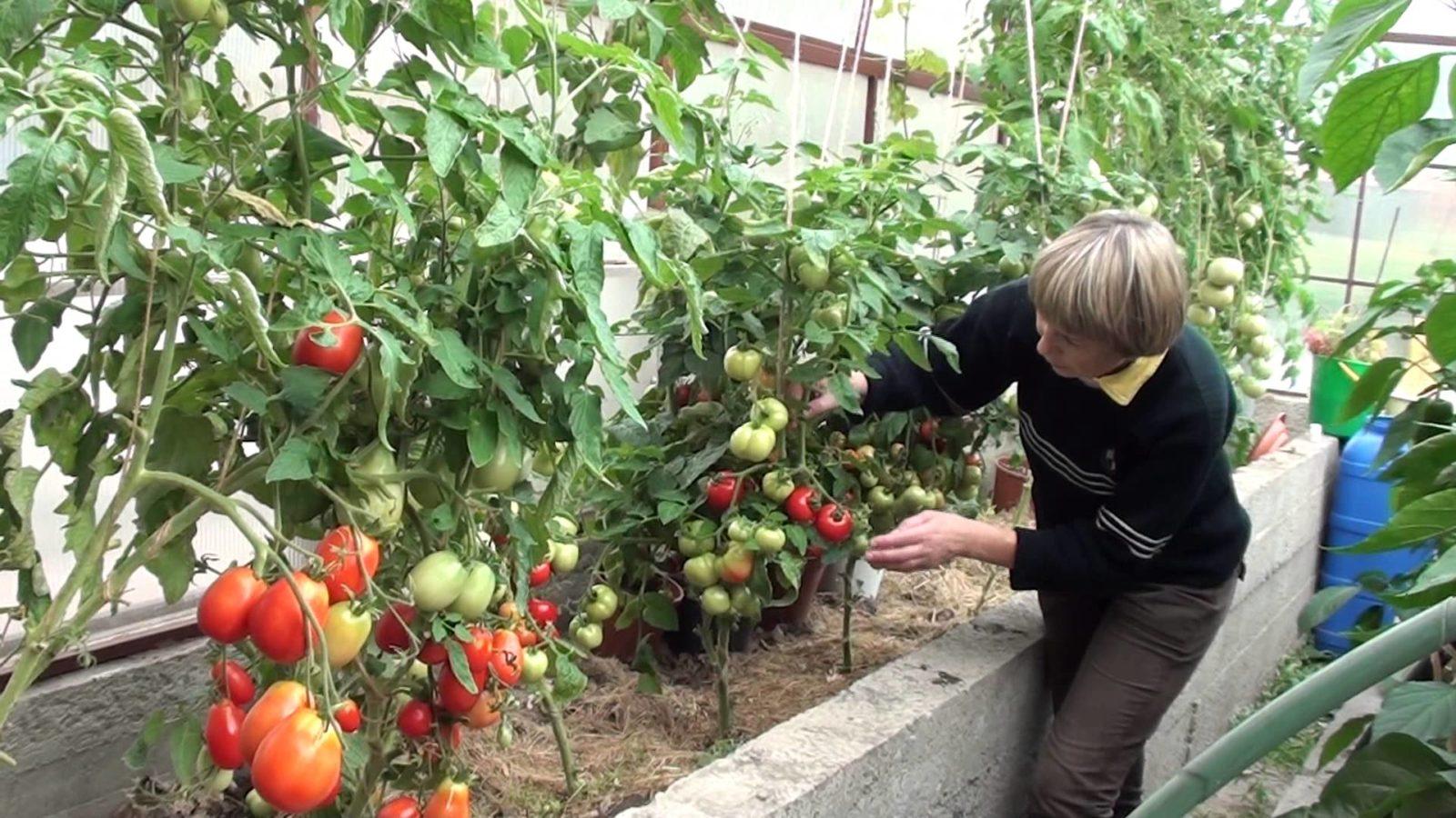 vyrashhivanie-pomidorov-v-teplicze-instrukcziya-dlya-nachinayushhih-2