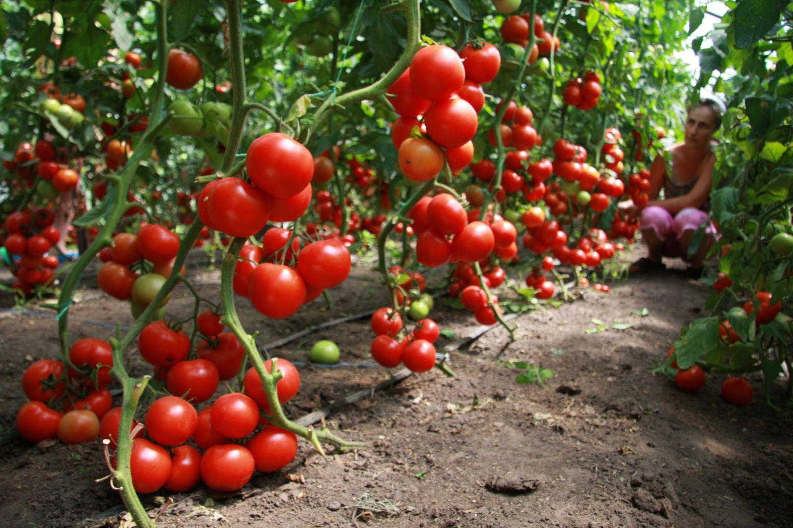 vyrashhivanie-pomidorov-v-teplicze-instrukcziya-dlya-nachinayushhih