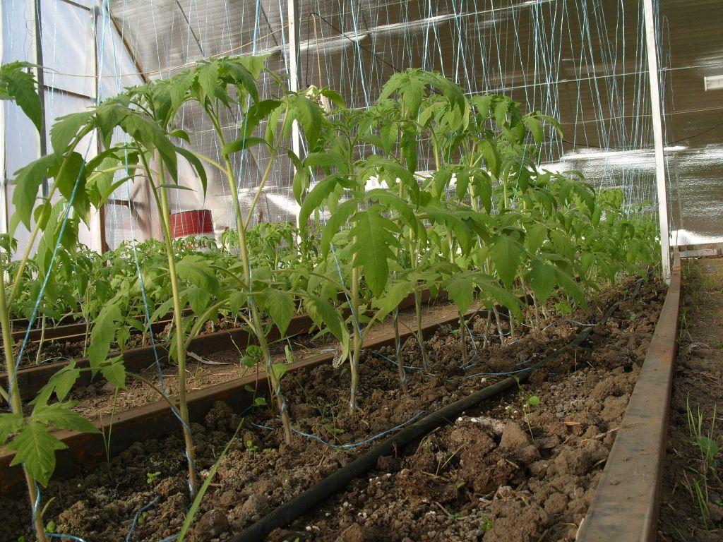 vyrashhivanie-pomidorov-v-teplicze-instrukcziya-dlya-nachinayushhih-5