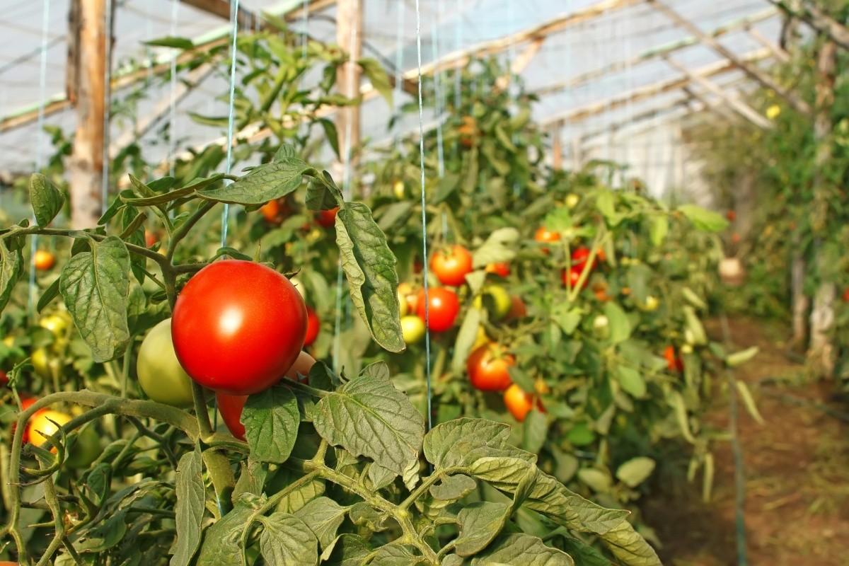 vyrashhivanie-pomidorov-v-teplicze-instrukcziya-dlya-nachinayushhih-4