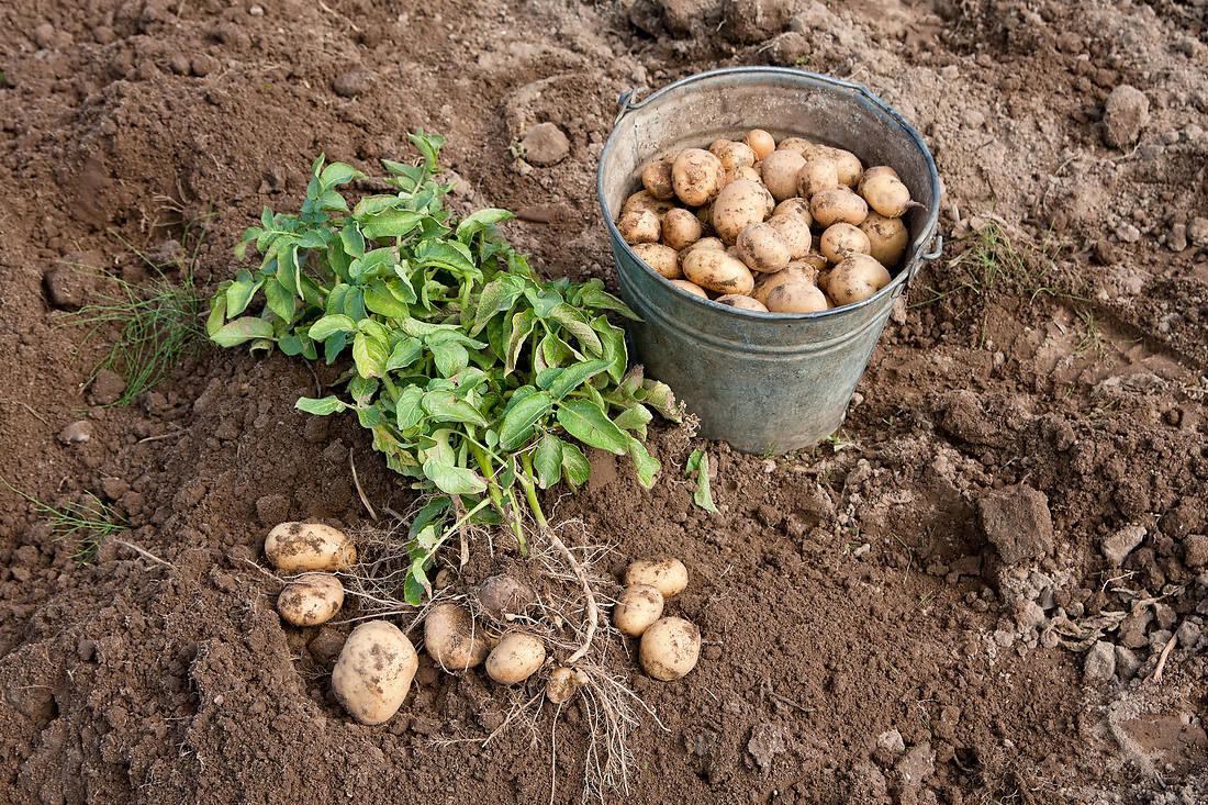 vyrashhivanie-kartofelya-opisanie-sortov-tehnologiya-posadki-8