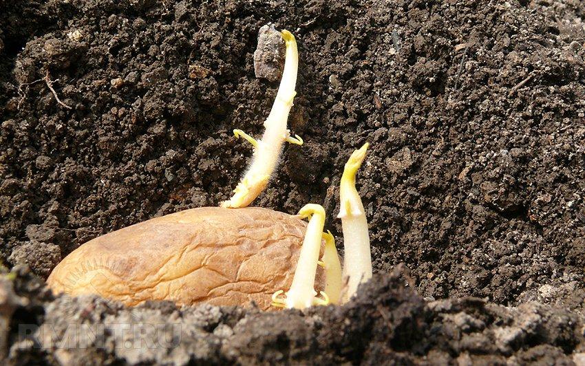 vyrashhivanie-kartofelya-opisanie-sortov-tehnologiya-posadki-4