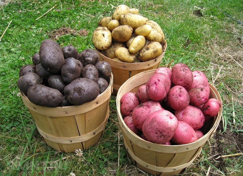 vyrashhivanie-kartofelya-opisanie-sortov-tehnologiya-posadki-1