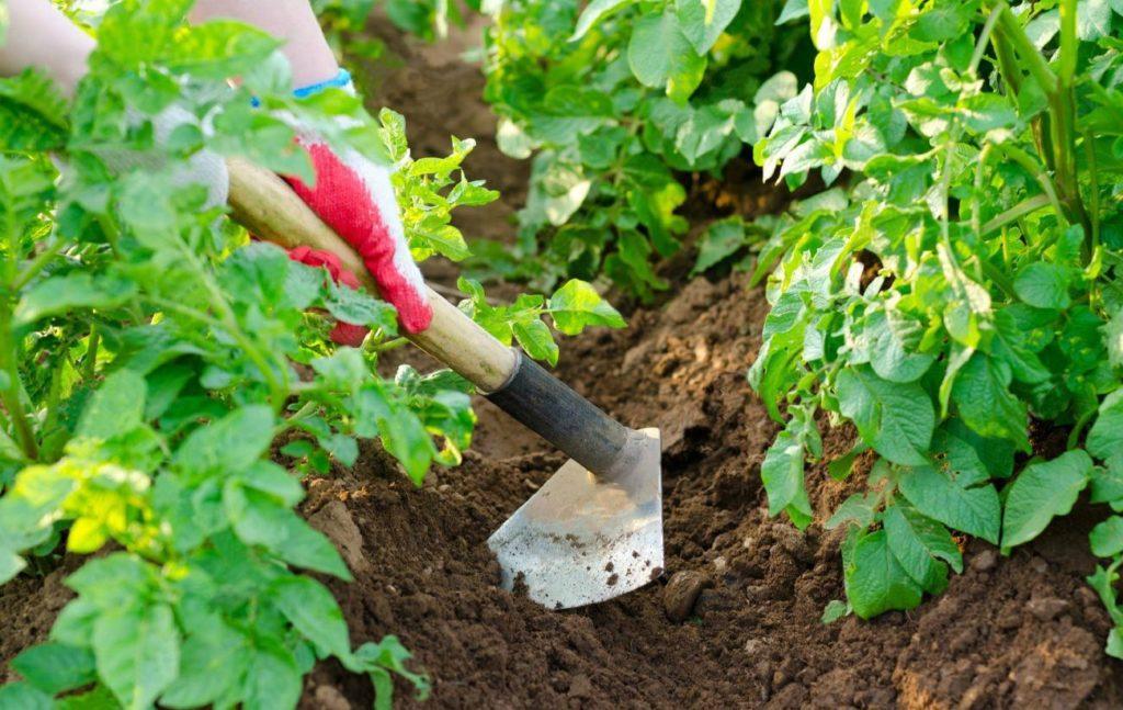 vyrashhivanie-kartofelya-opisanie-sortov-tehnologiya-posadki-7