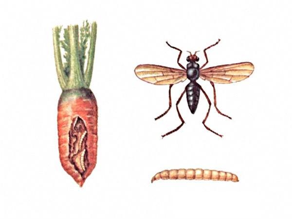 bolezni-i-vrediteli-morkovi-foto-i-opisanie-simptomov-7