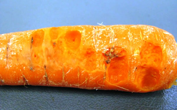 bolezni-i-vrediteli-morkovi-foto-i-opisanie-simptomov-4