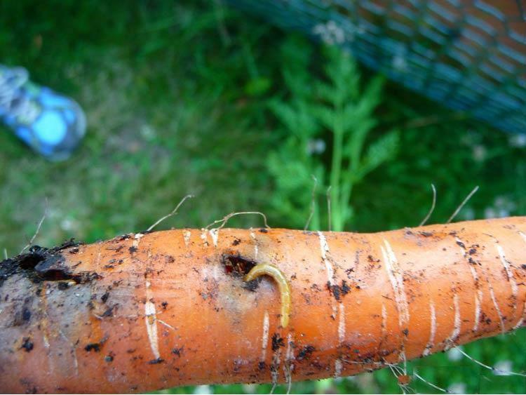 bolezni-i-vrediteli-morkovi-foto-i-opisanie-simptomov-9