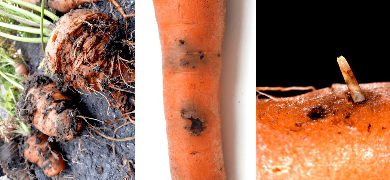 bolezni-i-vrediteli-morkovi-foto-i-opisanie-simptomov-1