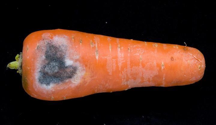 bolezni-i-vrediteli-morkovi-foto-i-opisanie-simptomov-2