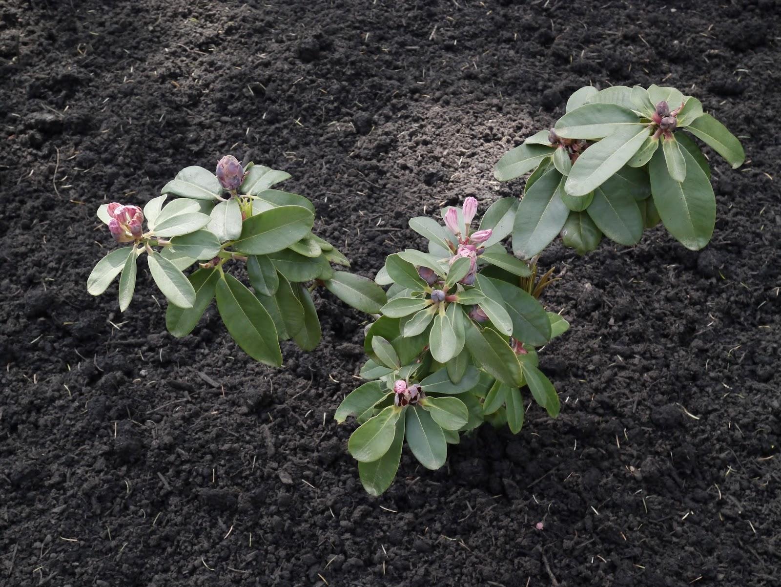 rododendron-foto-sposoby-razmnozheniya-posadka-i-uhod-10