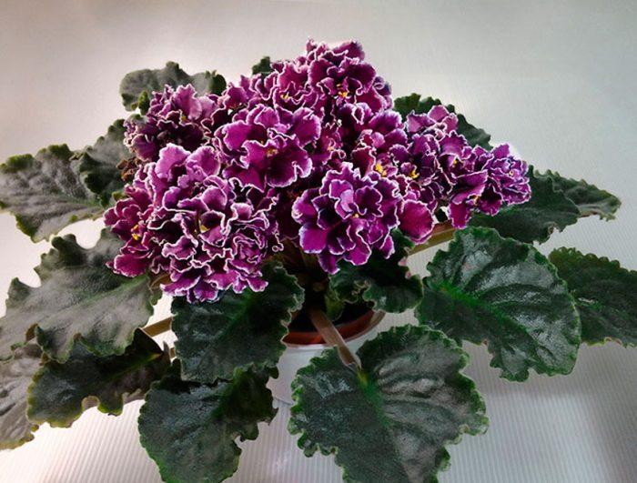 fialka-foto-opisanie-vidy-senpolii-posadka-i-uhod-v-domashnih-usloviyah-3