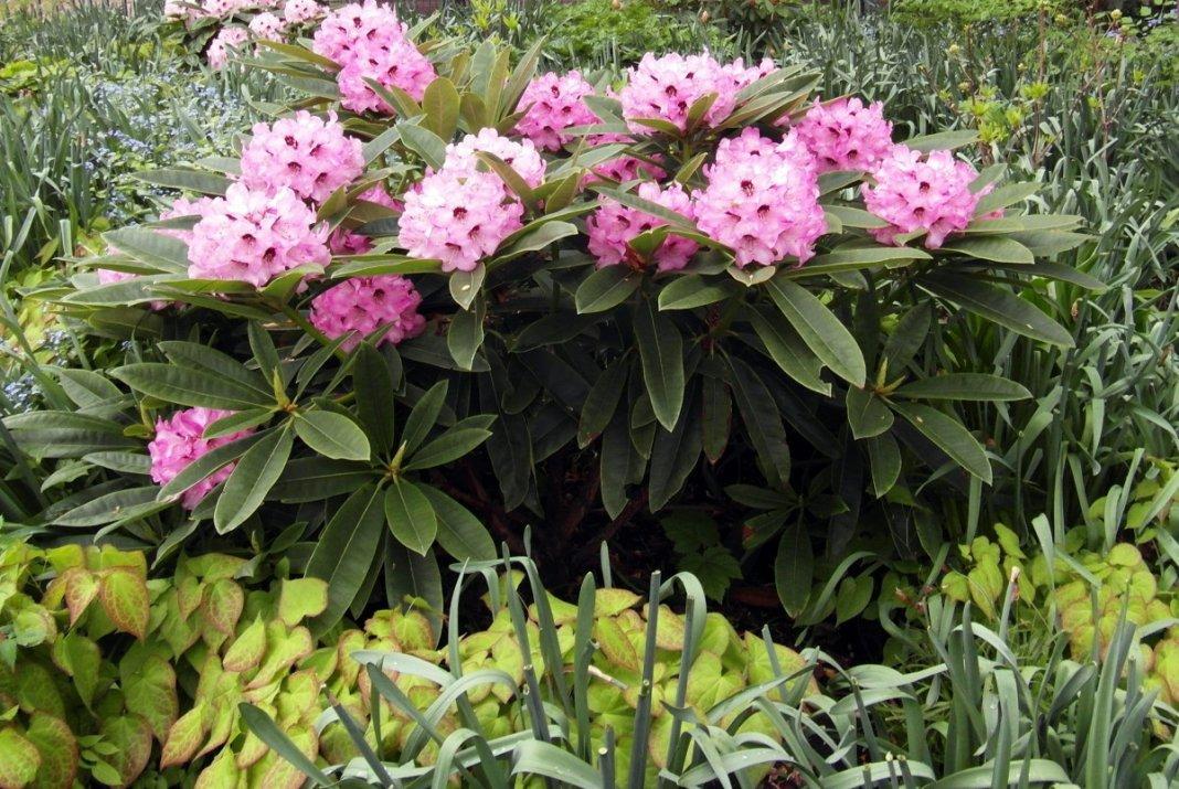 rododendron-foto-sposoby-razmnozheniya-posadka-i-uhod-2