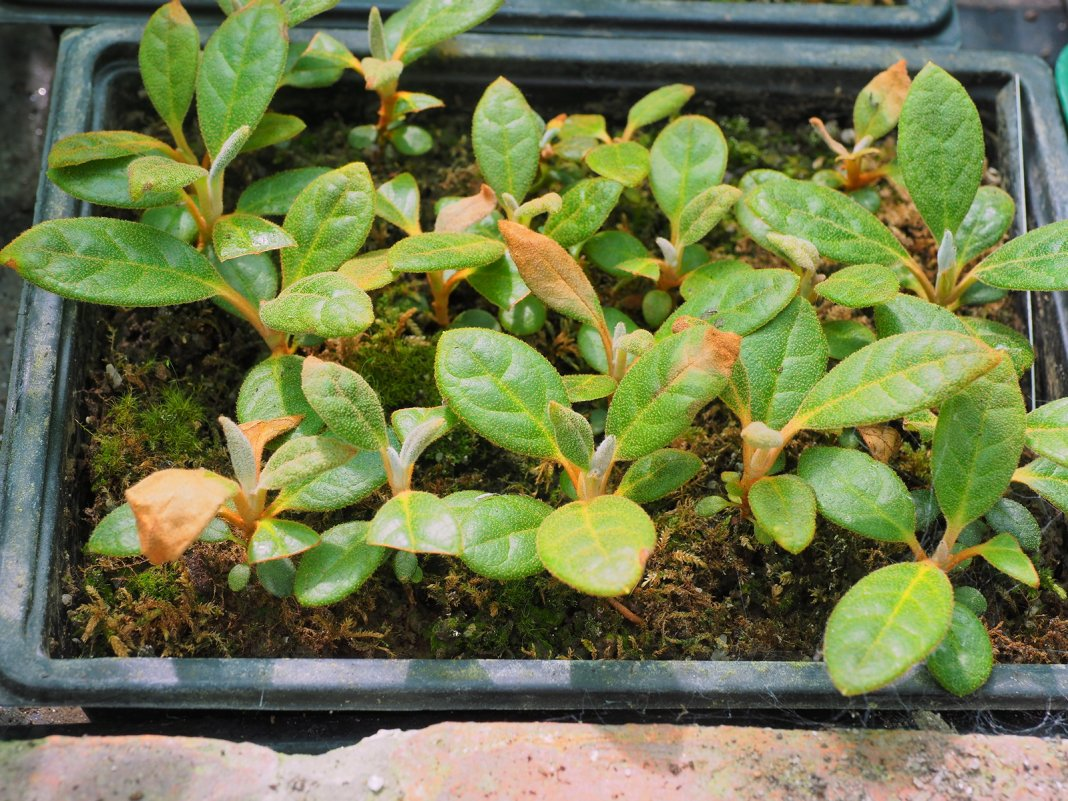 rododendron-foto-sposoby-razmnozheniya-posadka-i-uhod-8