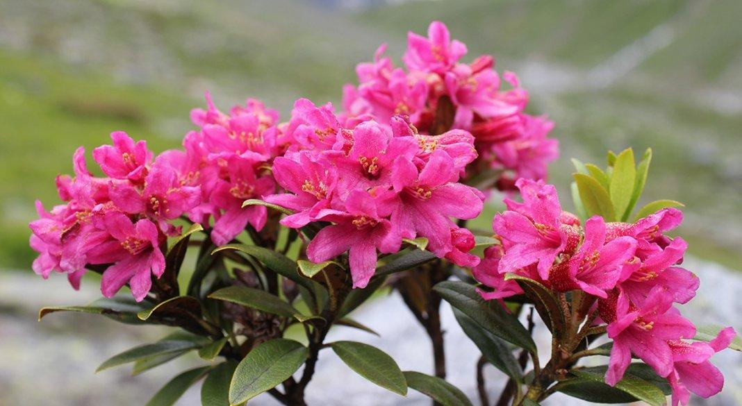 rododendron-foto-sposoby-razmnozheniya-posadka-i-uhod-1