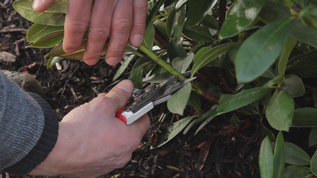 rododendron-foto-sposoby-razmnozheniya-posadka-i-uhod-3