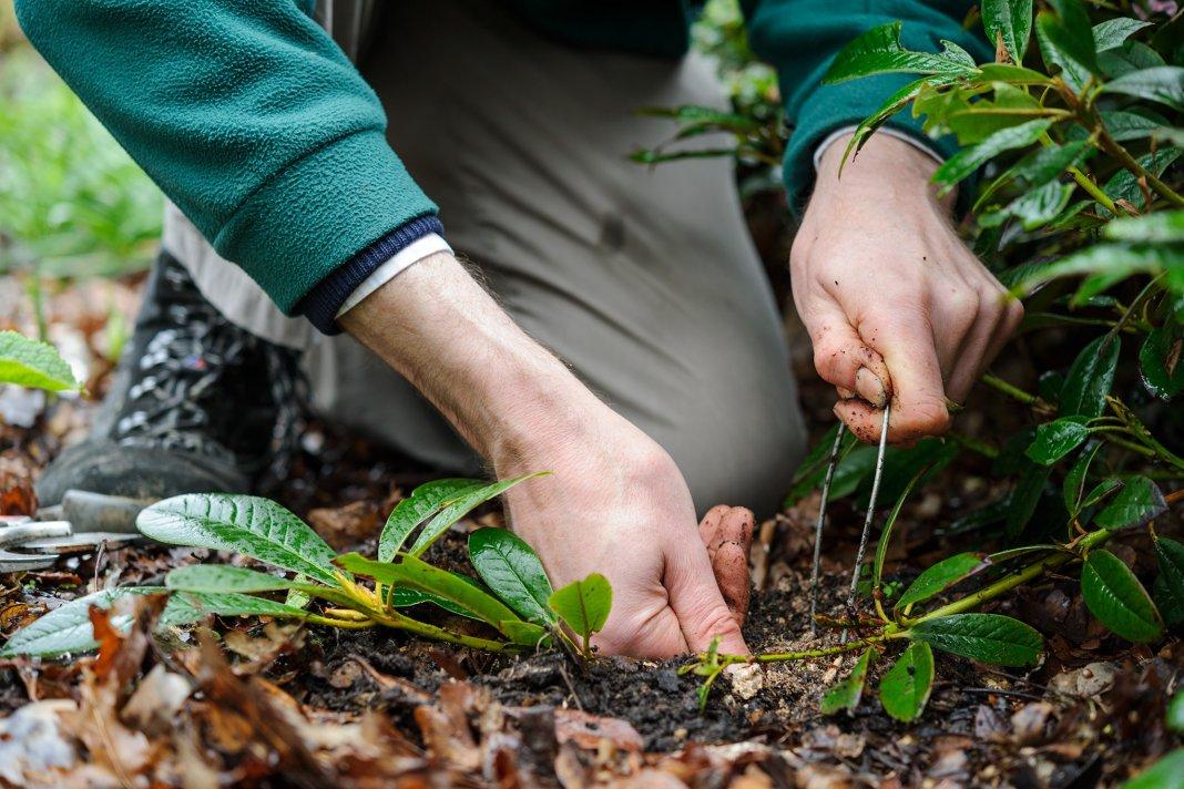rododendron-foto-sposoby-razmnozheniya-posadka-i-uhod-6