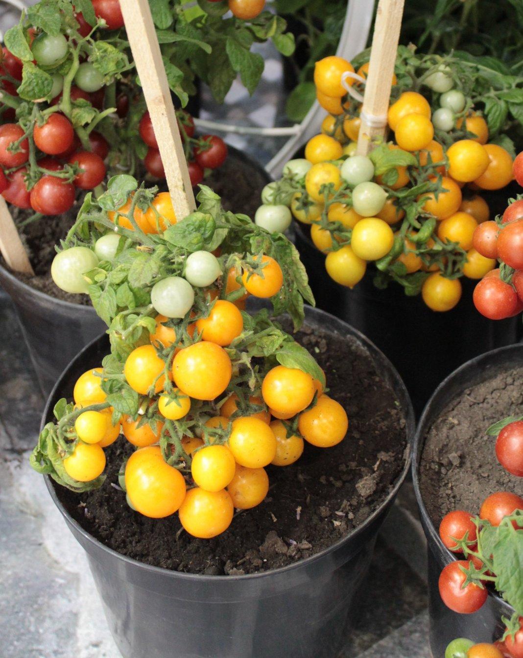 novye-sorta-pomidor-tomaty-dlya-tepliczy-i-otkrytogo-grunta-8
