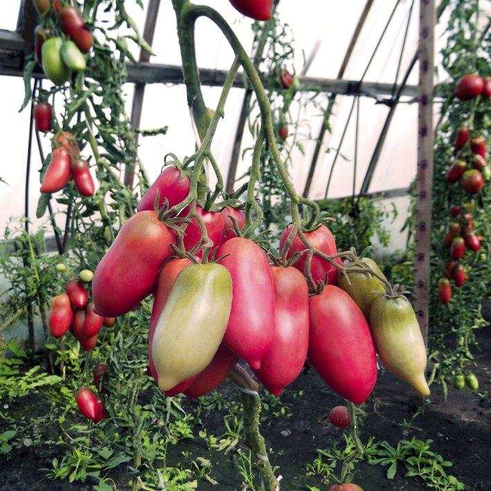 novye-sorta-pomidor-tomaty-dlya-tepliczy-i-otkrytogo-grunta-5