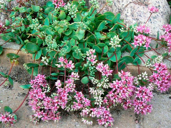 pochvopokrovnye-rasteniya-foto-nazvanie-i-opisanie-czvetov-3